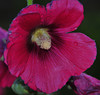 What?!?  That's not fall!<br /> But it is!  Hollyhocks are abundantly growing wild along the Maroon Creek Road!