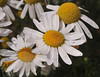More flowers in autumn?!?  Yesirree!  Crested Butte has daisies in abundance!