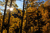The sun rises over the slopes of Pyramid to backlight quaking aspen
