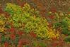 Banner Year for Scrub Oak