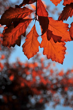 That's not sunshine coming through those leaves; this was at the park and ride Halloween night after the sun had set.  Streetlights made the leaves seem to glow.  I still love my D300 because it can beautifully pull off shots like this!