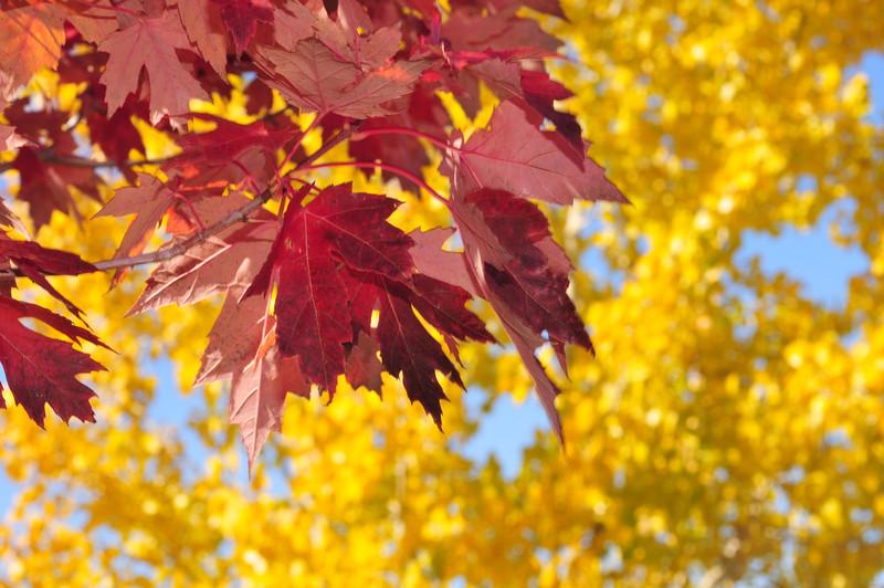 My Maple and Poplar