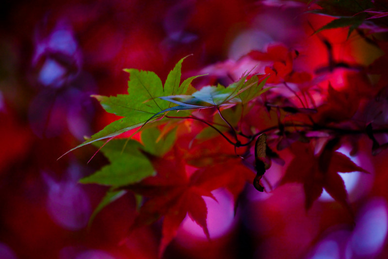 Autumn rouge begins