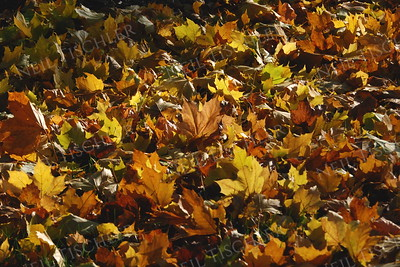 #1006  A carpet of fallen leaves