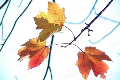 #243  Three fall leaves
