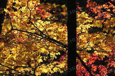 #883  An autumn canopy rendered brilliant by sunlight