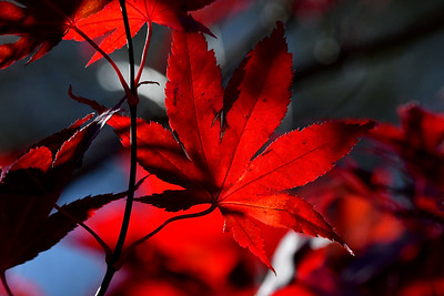 1566  Japanese Red Maple in autumn