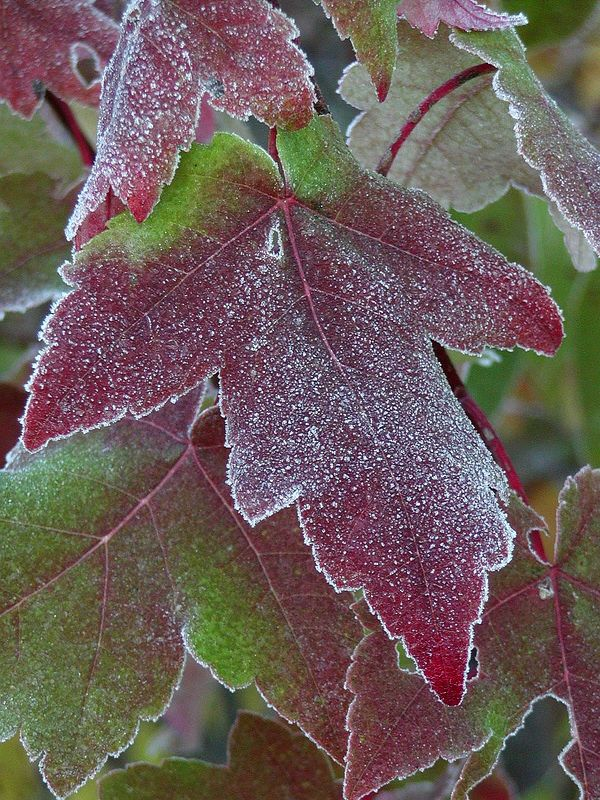 Frosted Red Maple Leaves (Acer rubrum)