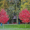 Two Sugar Maple Trees.<br /> Showing beautiful red foilage in autumn