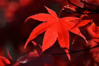 1553  Japanese Red Maple in autumn
