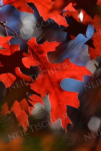 #1213  Oak leaves in autumn