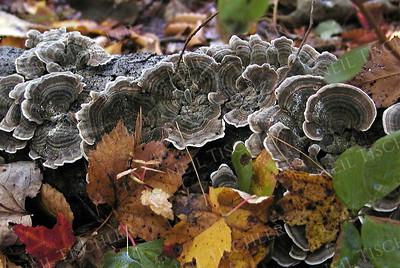 #146  Grey Fungi along a fallen log, in autumn