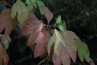 #506  Colorful Sassafras leaves