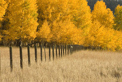 Aspen tree in fall color.  A clump of aspen is really one plant, so all change at once.