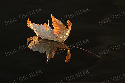 #458  A solitary maple leaf floats atop the still water of the Nashua River, as we kayak in early autumn, near Groton, Massachusetts.