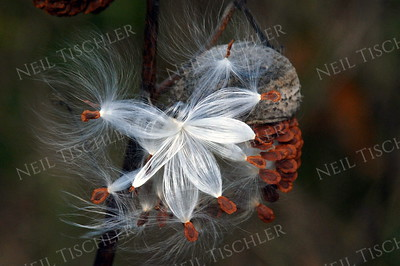 #653  Milkweed seeds being pulled free of their opening pod by an autumn breeze