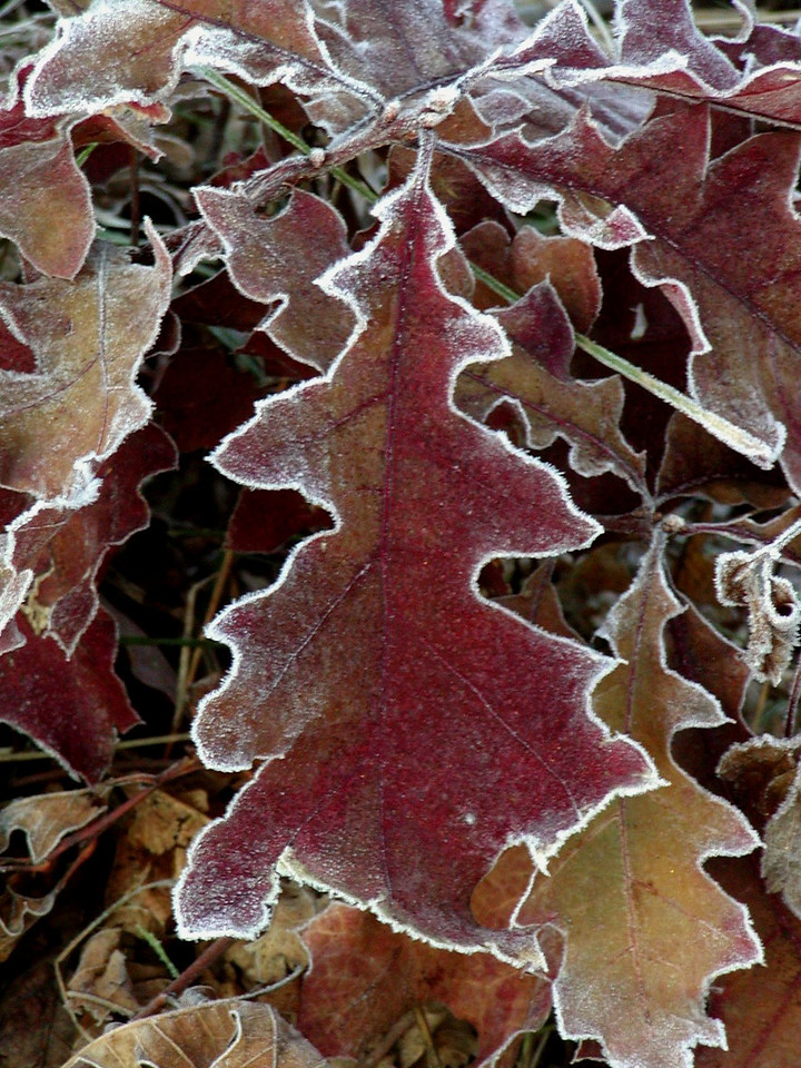 Frosted Oak Leaves 1