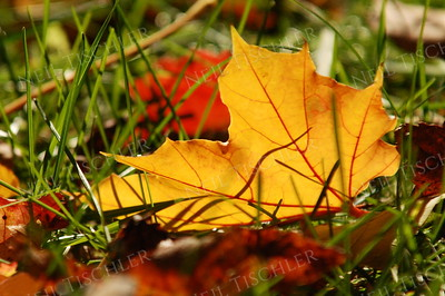 #927  Sunlit fallen leaves