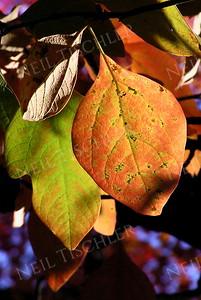 #314  Sassafras leaves in bright sunlight