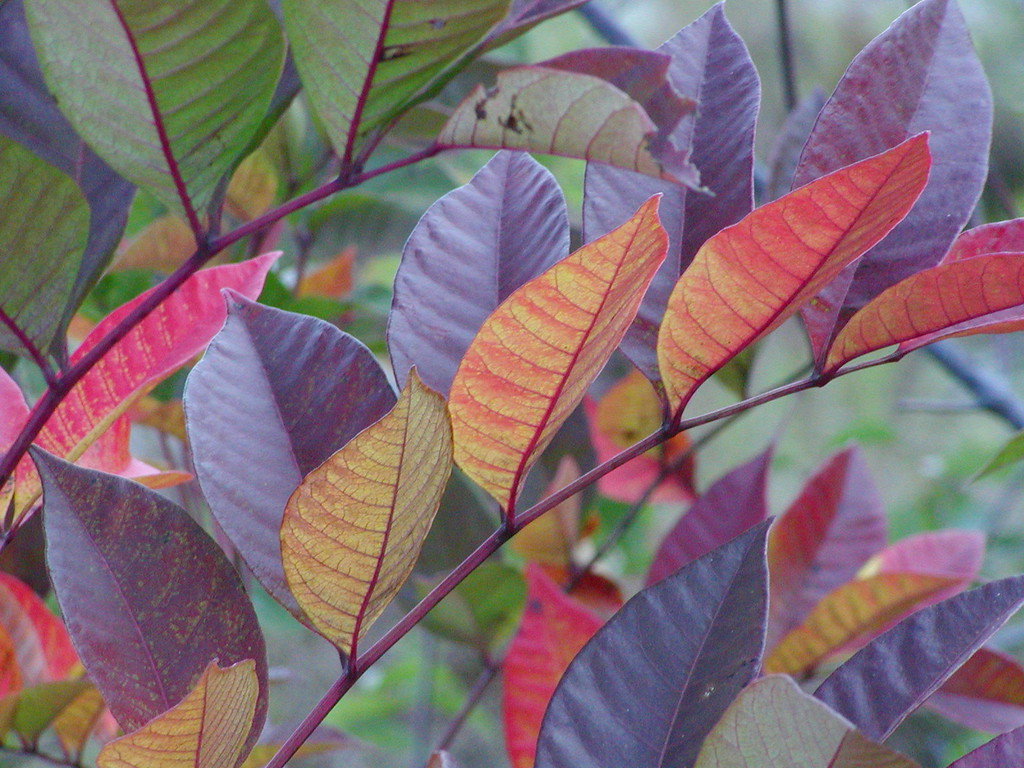 Sumac in Fall: Who says leaves can't be purple?