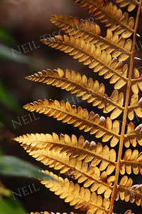 #975  An autumn fern