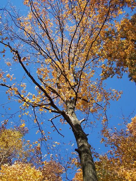 Fall Tree Reaching