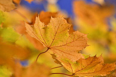 1567  Maple leaves in autumn