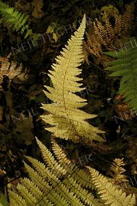 #026  Forest ferns in autumn