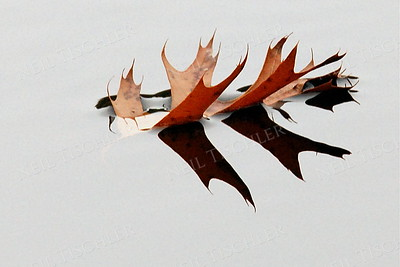 #930  A floating oak leaf
