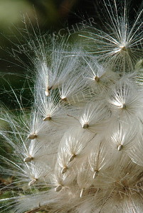 #700  Thistle seeds breaking free in the autumn breeze