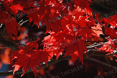 #968  Red Japanese Maple leaves in autumn