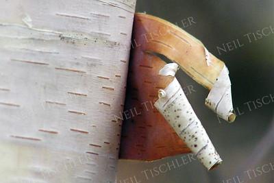 #028  Peeling birch bark