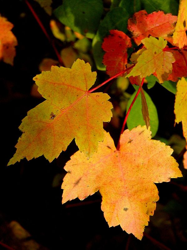 Red Maple in Fall (Acer rubrum)