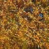 Autumn's Golden Curls / Золотые кудри осени