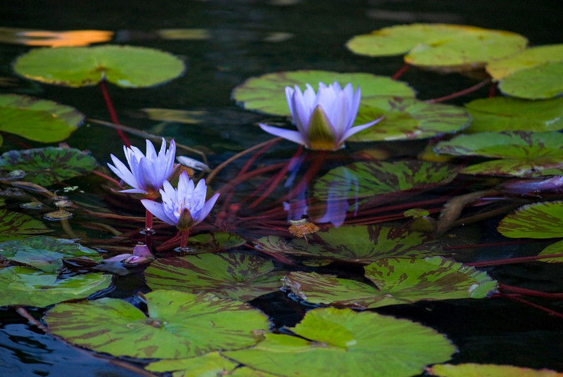 """Purple Water Lilies"" <br /> <br /> Water lilies on a Summer pond."