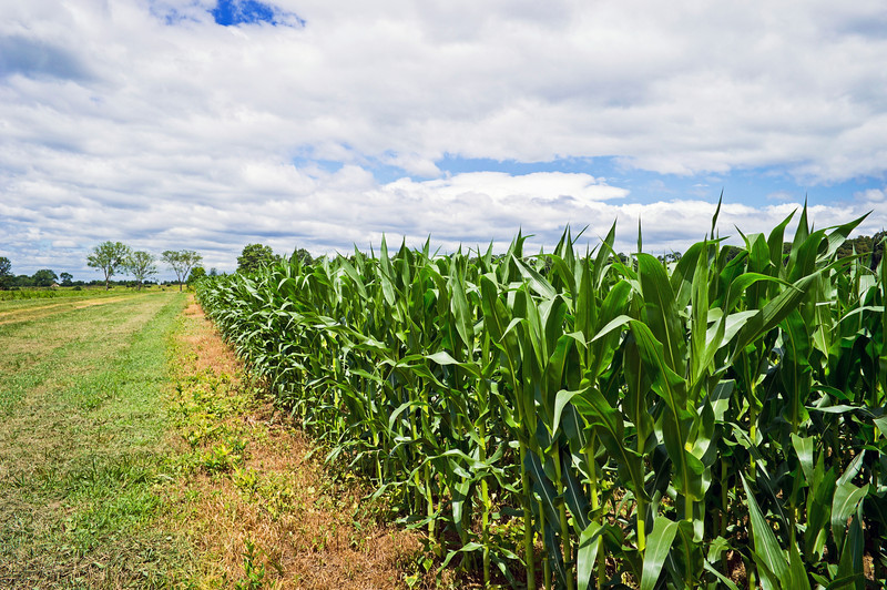 """Summer Cornfield""<br /> <br /> A wide angle view of a cornfield with a dramatic sky in Central, New Jersey."