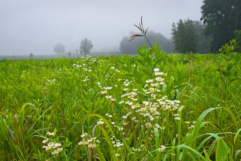 """Morning Summer Field""<br /> <br /> Wildflowers and plants on a foggy Summer morning in Central New Jersey"