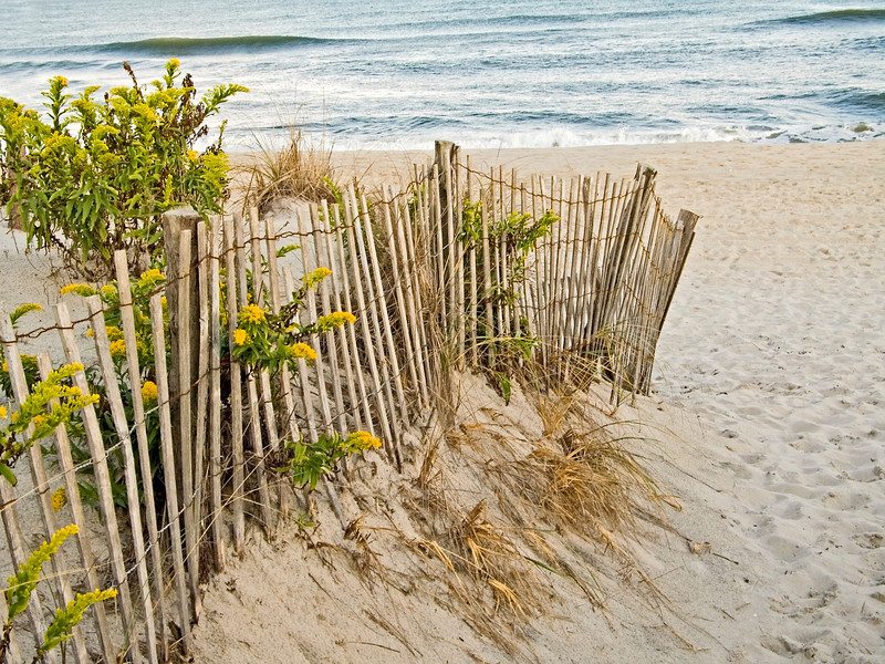 """Dunes and Fence""<br /> Sand dunes a fence a wild flowers on the beach in Sandy Hook National Recreation Area along the Jersey Shore."