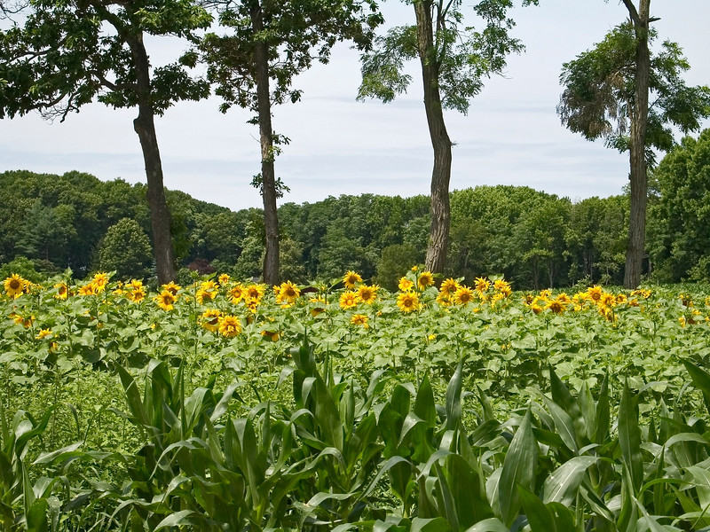 """Sun Fields""<br /> A sunflower field in Manalapan, New Jersey."