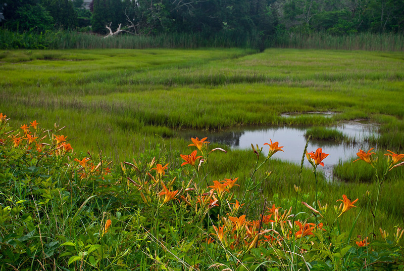 """Tiger Lilies and Wetland""<br /> <br /> A Summer view of tiger lilies and a Cape Cod salt marsh."