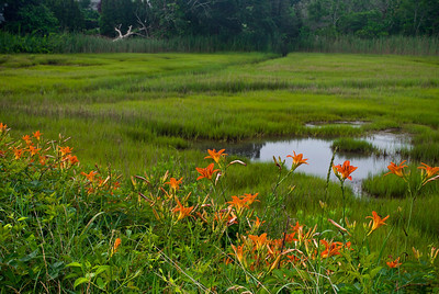 """""""Tiger Lilies and Wetland""""  A Summer view of tiger lilies and a Cape Cod salt marsh."""