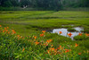 """Tiger Lilies and Wetland""  A Summer view of tiger lilies and a Cape Cod salt marsh."
