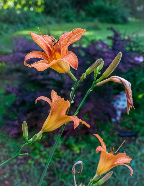 TigerLilly Blooms