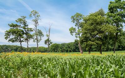 Sunflowers in Cornfield