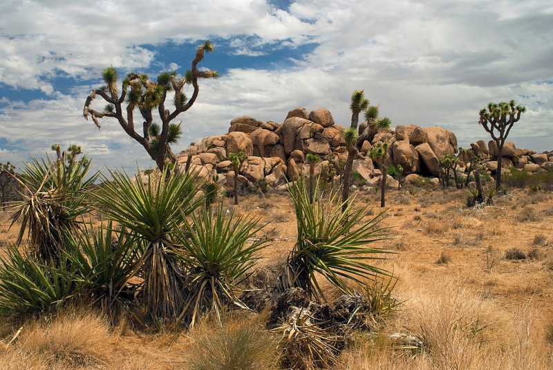 """Mojave Desert Life""<br /> A scenic view of the Joshua trees in this Mojave Desert landscape."