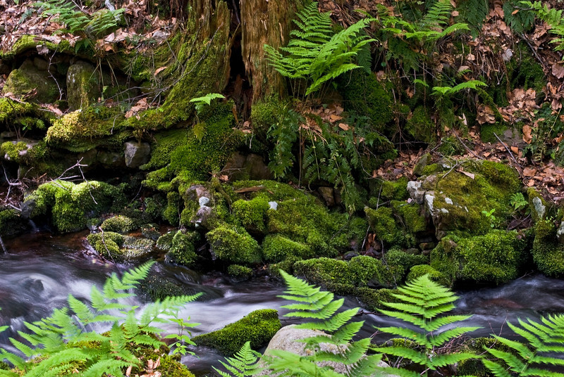 """Forest of Green""<br /> Green ferns and moss near this small flowing stream in Stokes State Forest in New Jersey."