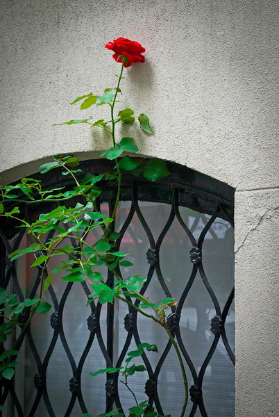 """Rose in Window""<br /> A Summer red rose against a rustic wall and window in Manhattan."