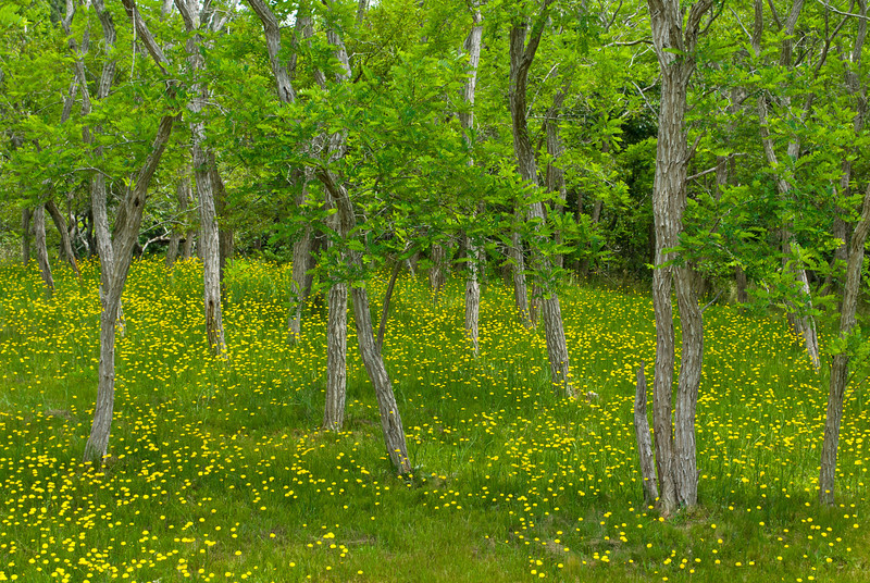 """Wildflowers and Forest""<br /> Wildflowers in the woods along Rt. 6 in cape Cod Massachusetts."