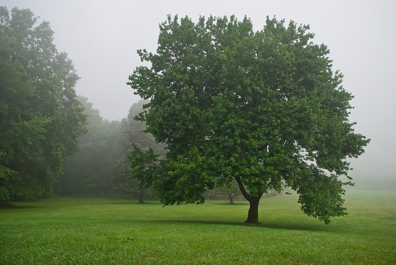 """Summer Tree in Fog""  A shapely tree on a fogy Summer morning in Monmouth Battlefield<br /> State Park in New Jersey."