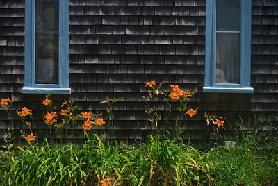 """""""Tiger Lilly Wall"""" A tiger lilly garden against a home on Cape Cod in Massachusetts."""